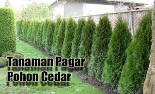 Tanaman Pagar Pohon Cedar