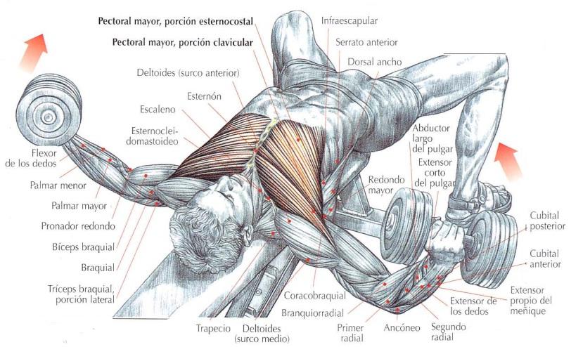 Músculos implicados en la apertura con mancuernas