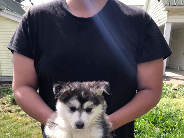 Female Miniature Siberian Husky Puppy Available
