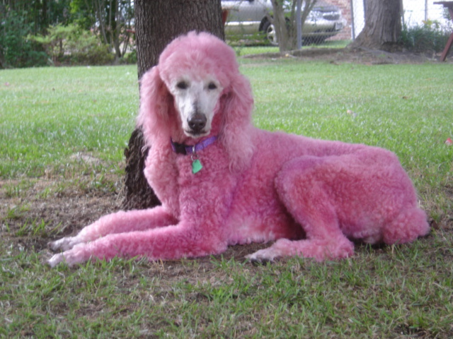 Cute Dogs: Pink Poodle Dog - photo#46