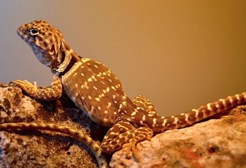 Crotaphytus collaris (femelle) - Philippe Royer, droits réservés.