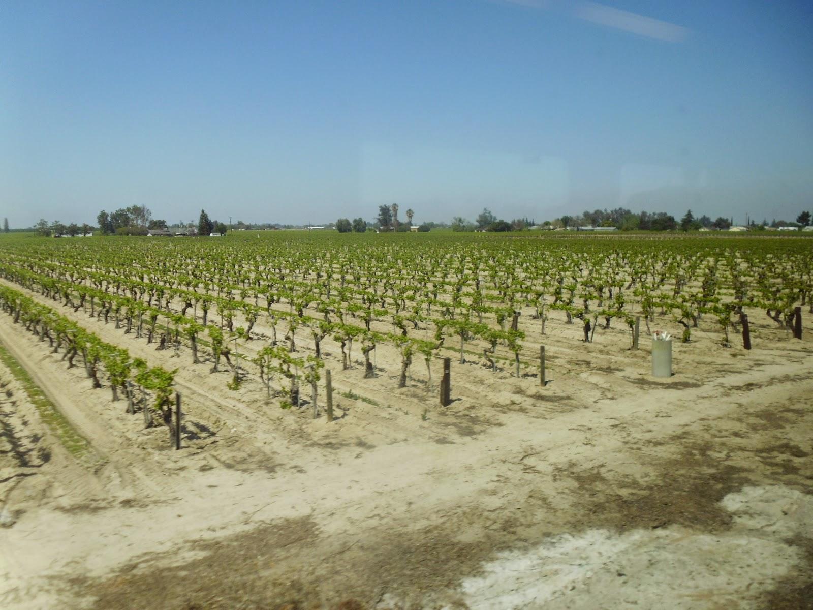Central Valley Vineyard