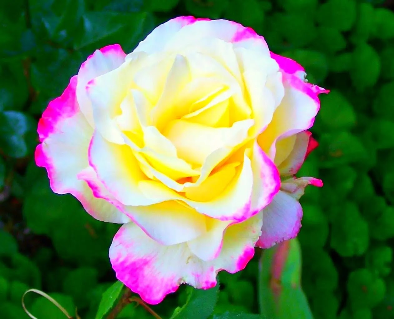 صورة وردة حلوة جميلة
