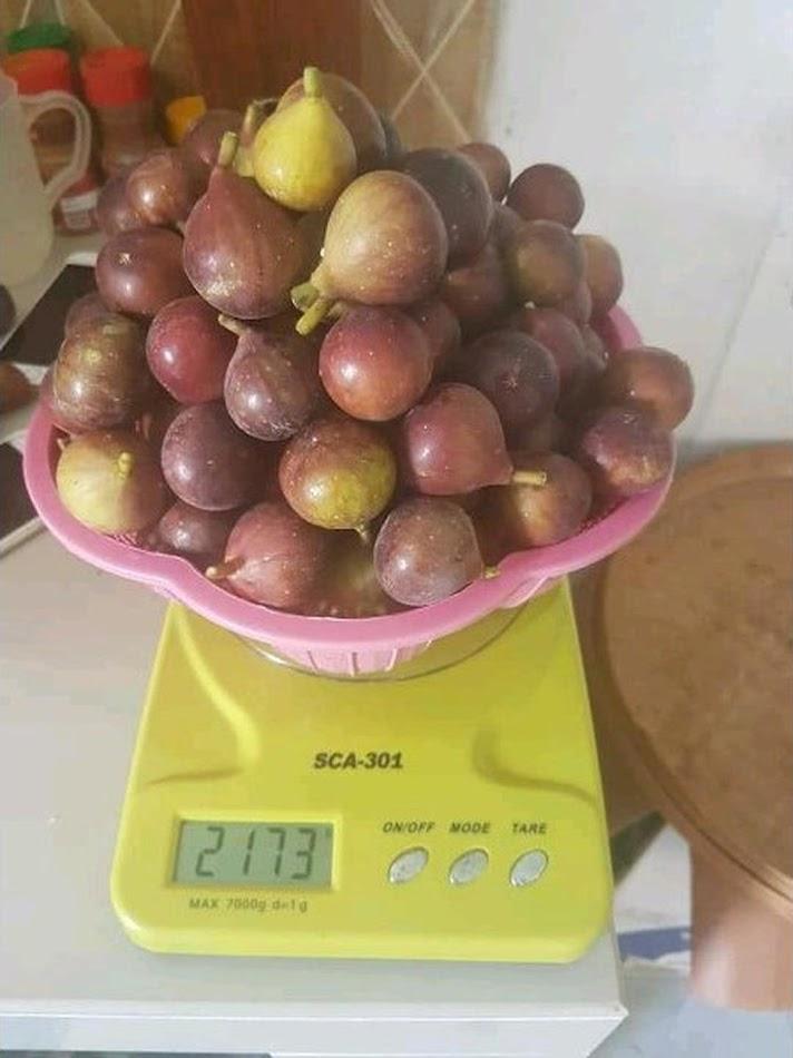 bibit buah tin brown turkey Tual