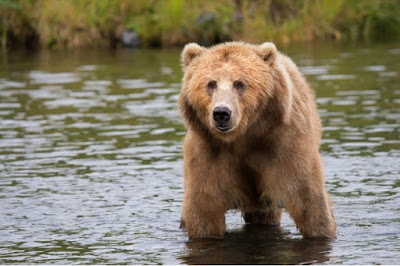 information about bear in hindi