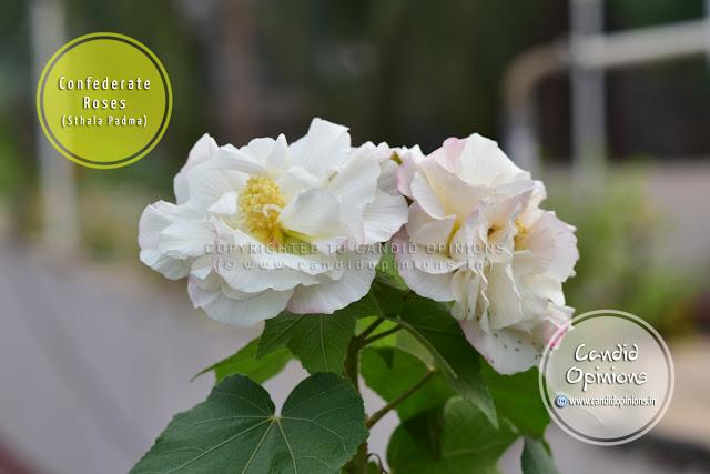 Confederate Rose (Sthala Padma)