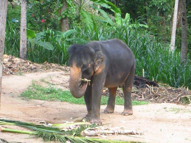 Слон ест ветку