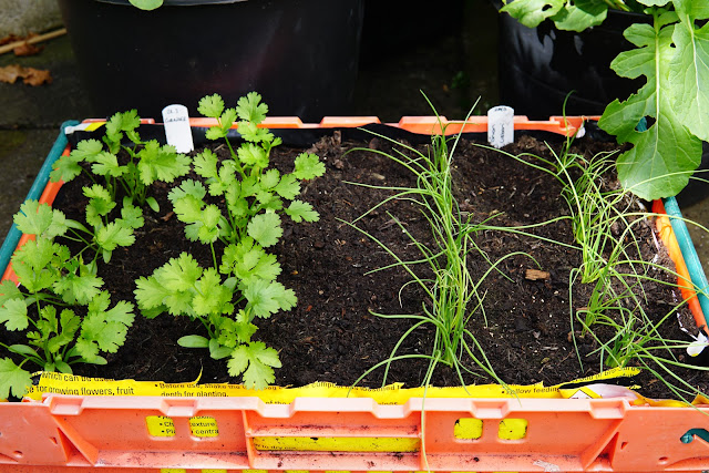 Coriander and spring Onions - a stubborn optimist blog - Carrie Gault 2020