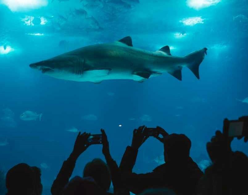 صورة لسمكة قرش في حوض أسماك زجاجي ضخم والناس من خارجة يلتقطون الصور
