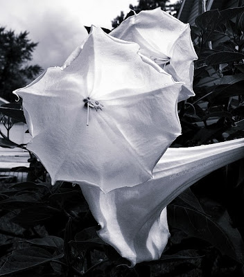 Trumpet Flower Photography