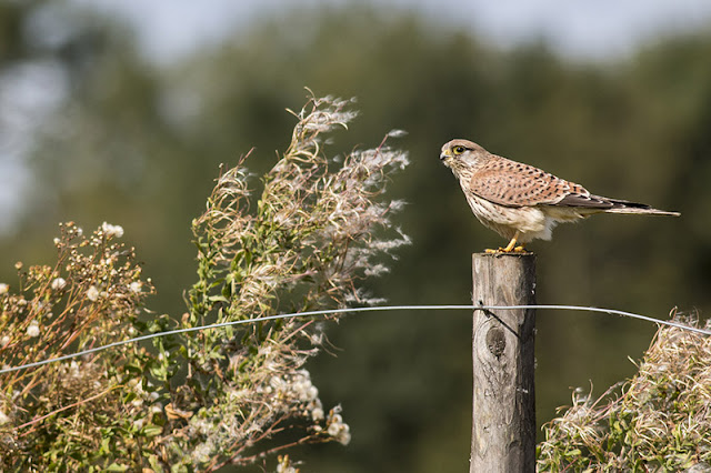 Common Kestrel on Fence Post
