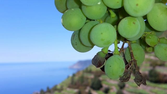 Vineyards at Cinque Terre