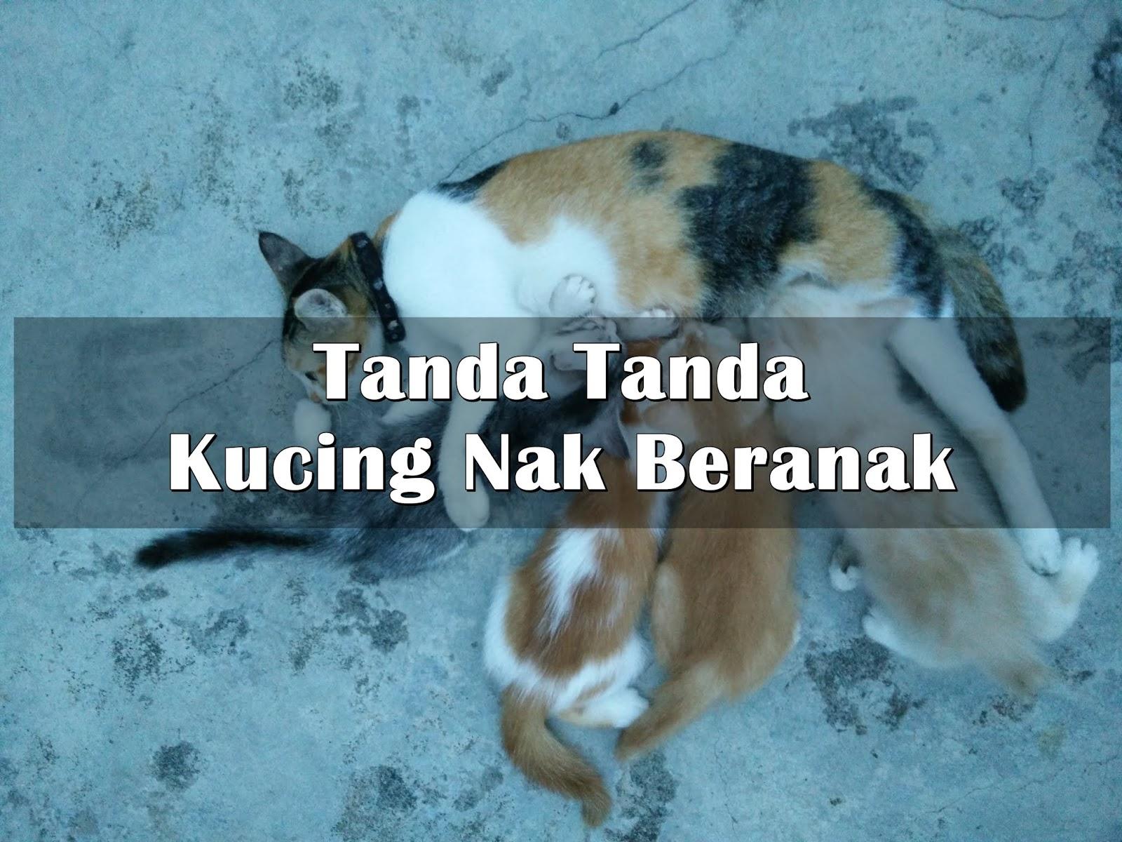 6 Tanda Tanda Kucing Nak Beranak Eintan Nurfuzie Lifestyle Beauty Travel Tips Rawatan Kucing Review