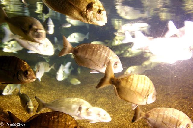 Alcuni dei pesci ospitati all'Acquarium a Tregastel