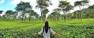 jawa timur,penginapan kebun teh malang,tiket masuk kebun teh lawang,wisata agro wonosari,tiket masuk kebun teh malang,kebun teh wonosari penginapan,rollaas hotel and resort,alamat kebun teh malang,fasilitas kebun teh wonosari,