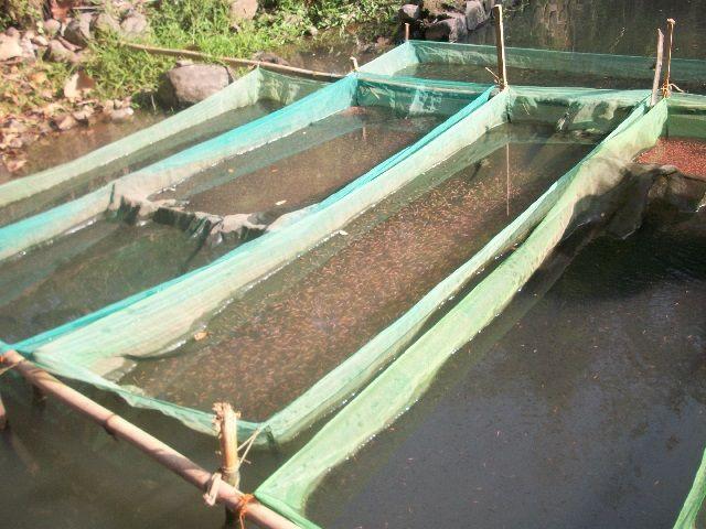 Pendederan Ikan Nila