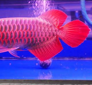Bentuk Sirip Atas Ikan Arwana Yang Bagus