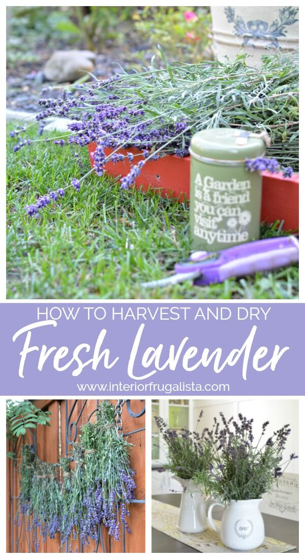 Helpful tips on how to harvest and dry fresh lavender from your flower garden along with some creative ideas on how to use dried lavender. #harvestlavender #drylavender #prunelavender