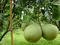 Cara Lengkap Budidaya Jeruk Bali, Mulai dari Bibit Hingga Panen