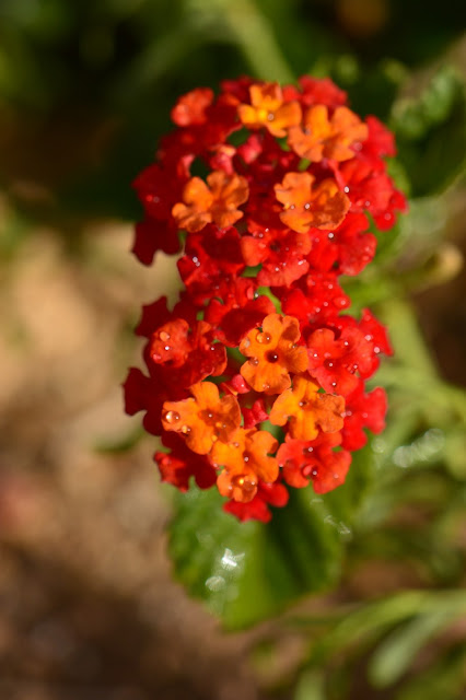 lantana denver red, small sunny garden, desert garden, amy myers