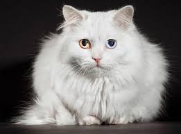 ciri ciri kucing anggora asli bentuk kepala
