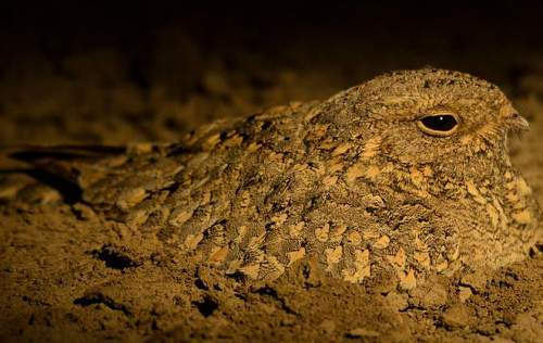 Indian birds - Image of Sykes's nightjar - Caprimulgus mahrattensis