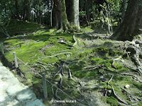Exposed roots in moss - Kenroku-en Garden, Kanazawa, Japan