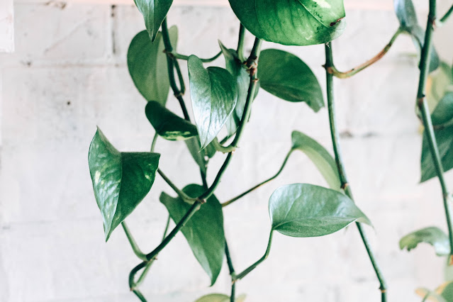 Growing pothos