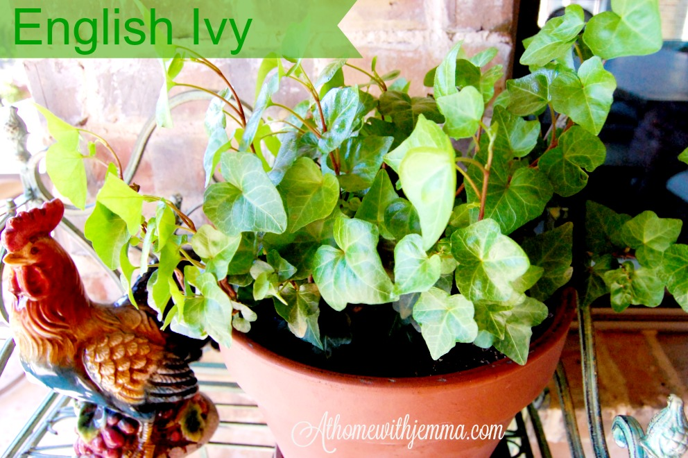 garden-gardening-tales-containers-pots-English-ivy-patio-athomewithjemma