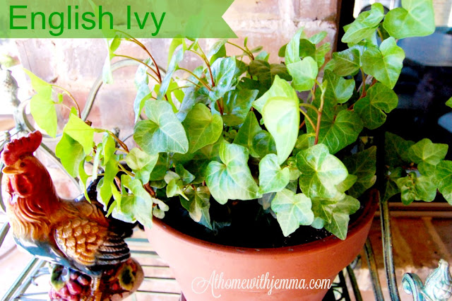 decorating with English ivy adds charm to patios, porches and indoor vignettes