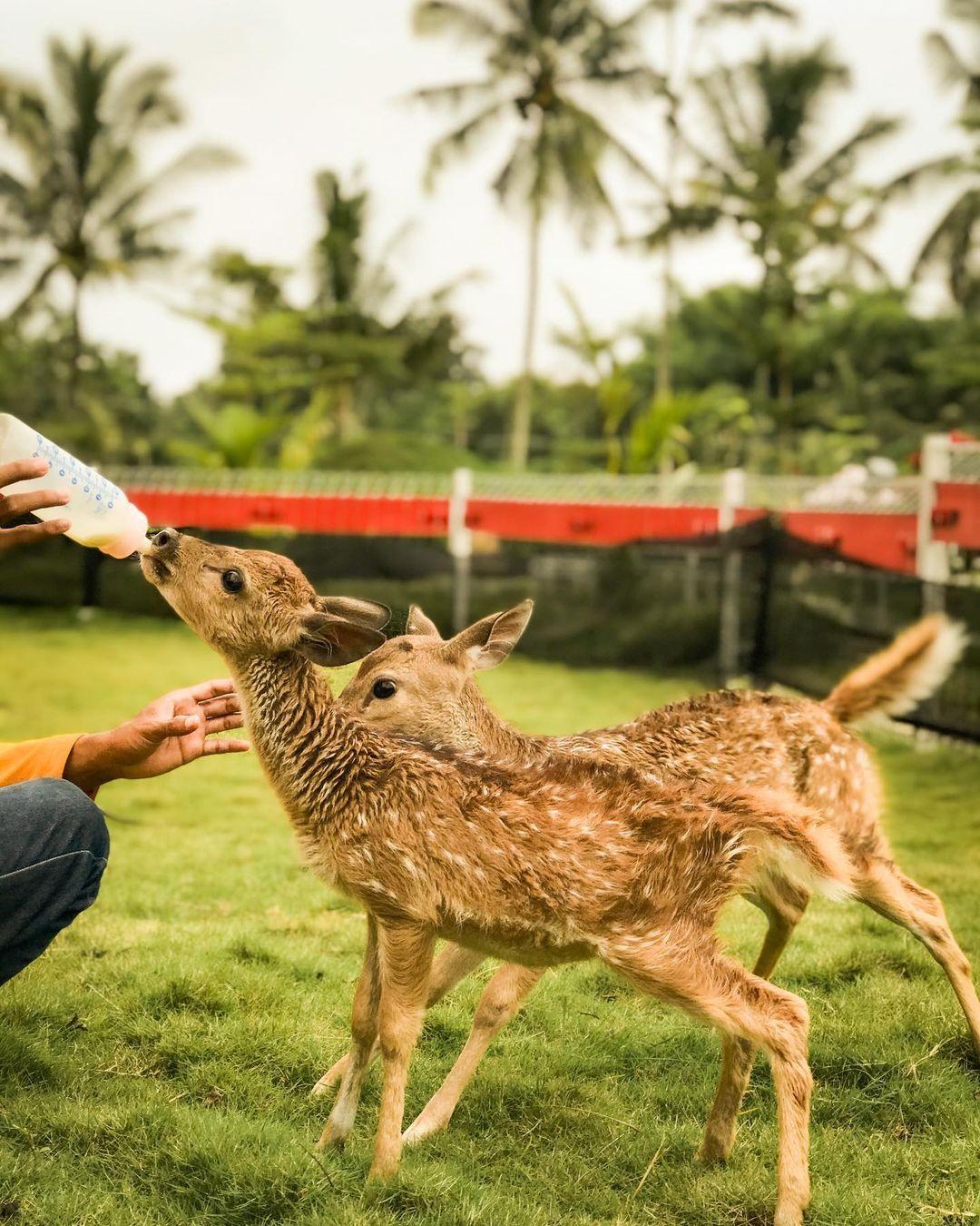 sensasi memberi makan rusa akbar zoo banyuwangi