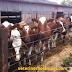 Temmuz Ayı Simental inek Fiyatları