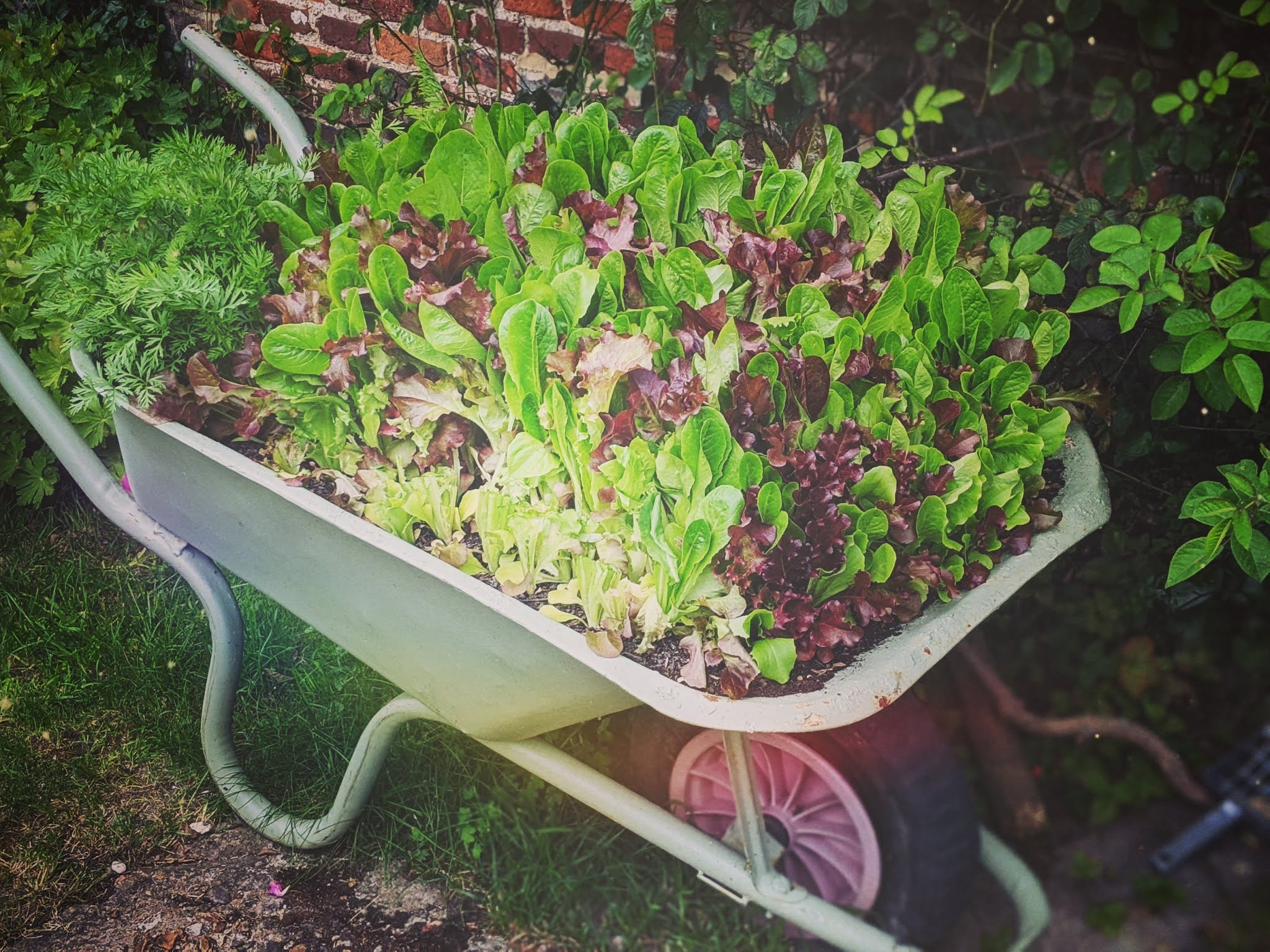 Home grown salad leaves DIY wheelbarrow planter