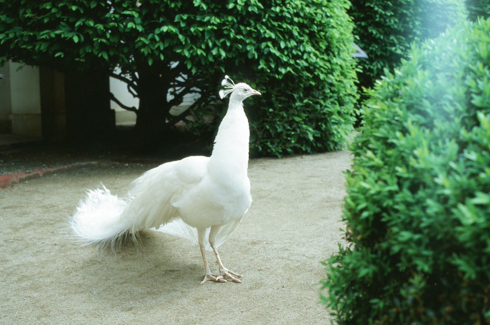 white-peacock-on-passage-images