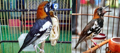 6 Hal Yang Paling Penting Proses Perawatan Burung Anis Kembang