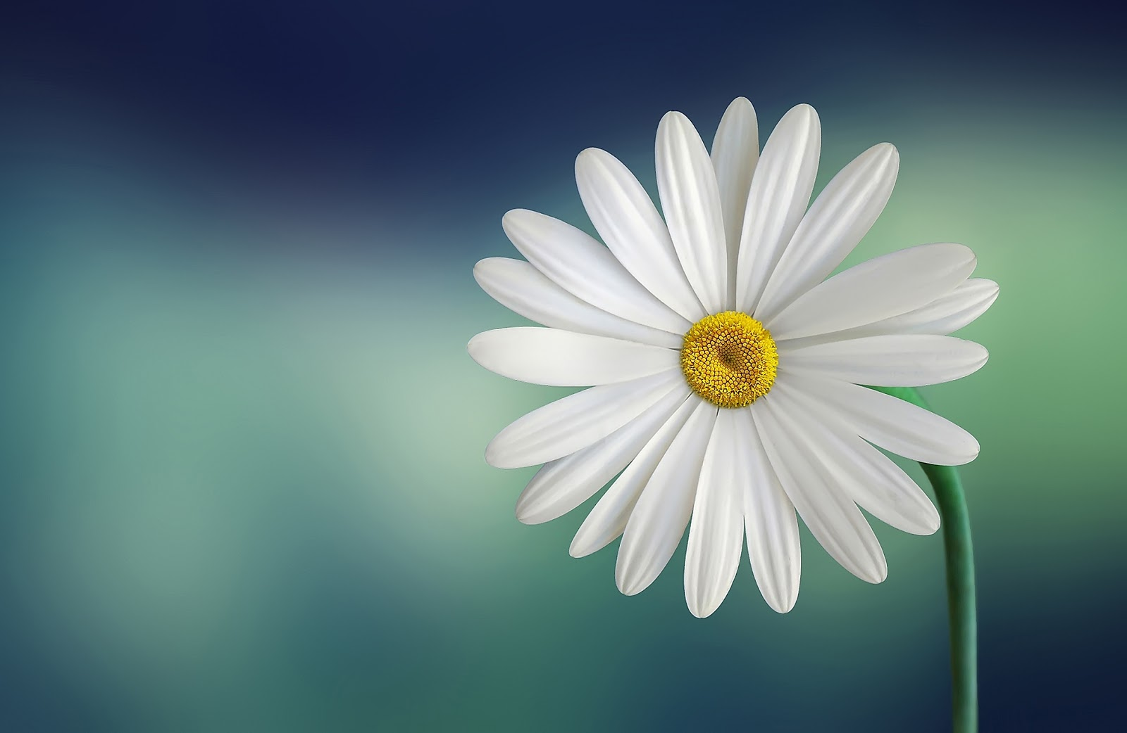 https://static.pexels.com/photos/36764/marguerite-daisy-beautiful-beauty.jpg