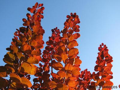 Herfstkleuren van herfstbladeren van pruikenboom