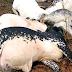 Again, Over 30 Cows found dead in Ondo