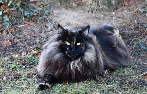8 informations sur les chats norvégiens