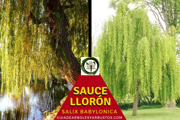El sauce llorón o mimbrerra, Salix Babylonica, es un árbol de hasta 15 metros de altura