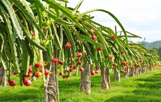 pemeliharaan tanaman buah naga