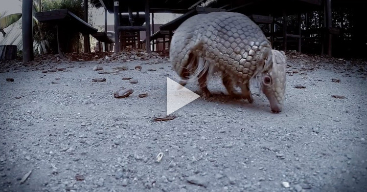 Man shoots Armadillo but the bullet bounces back to his face