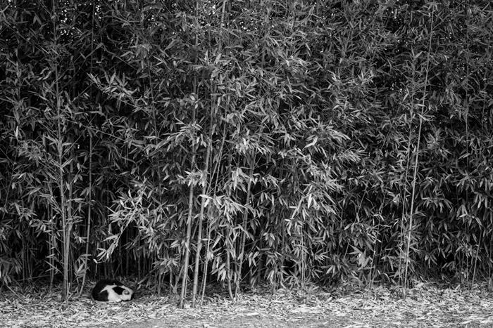 cat asleep in bamboo