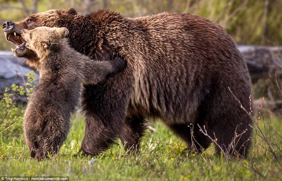 wolf kissing its cub - photo #4