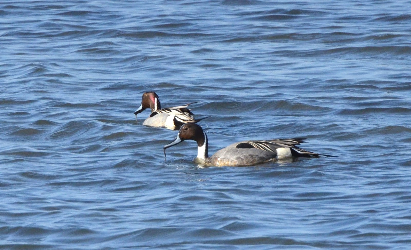 Synchronized  Pintails