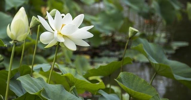 Lotus hindu singles