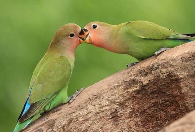 anakan lovebird