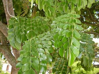 Saman - albizia saman - legume tree south america arbol leaves pods leguminoso