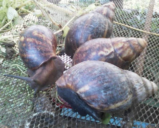 Snail farming business