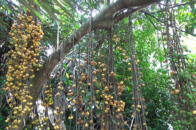 Dlium Luwingan (Ficus hispida)